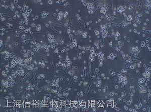 H8细胞;人宫颈上皮永生化细胞