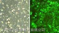 Hs 600.T细胞; 人黑色素瘤细胞