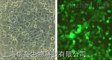 SCC-090 细胞;人口腔鳞癌细胞